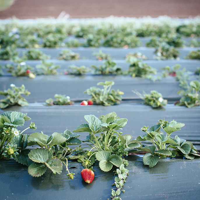 Strawberries at UC Santa Cruz