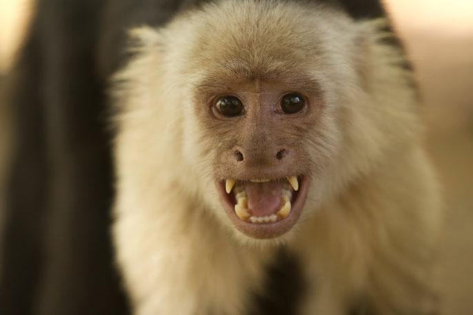 Capuchin monkey UCLA