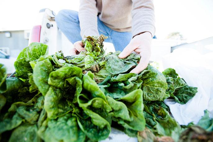 handling lettuce