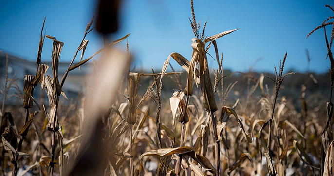 parched wheat