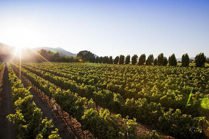 UC Davis vineyard